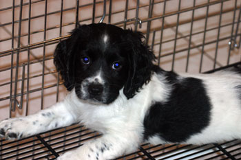 Spaniel Puppies - Woodland Kennel in Connecticut